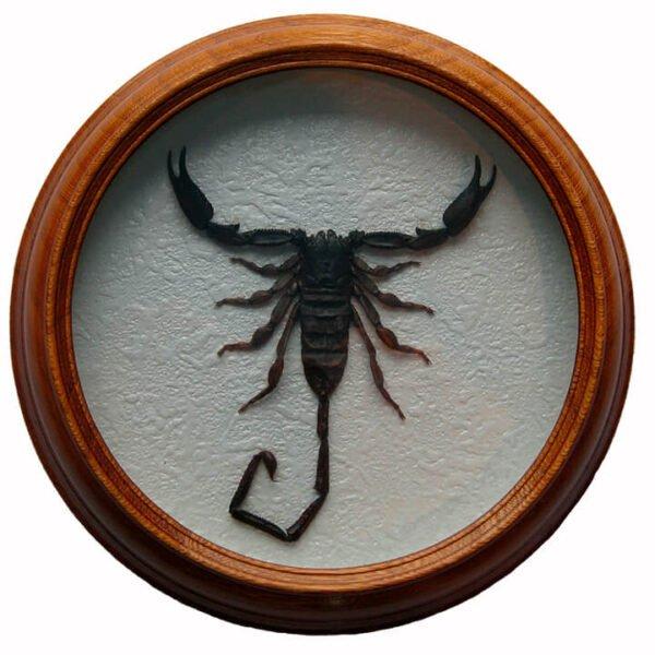 hadogenes teceur скорпион сувенир в рамке