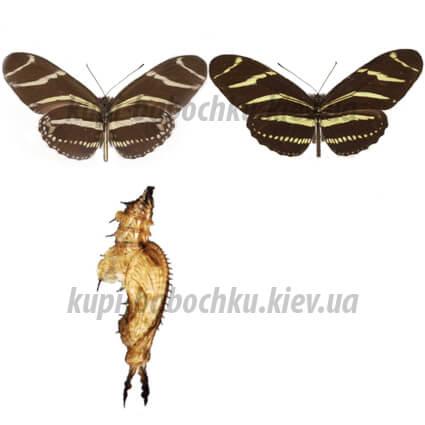 heliconius charitonia куколка бабочки