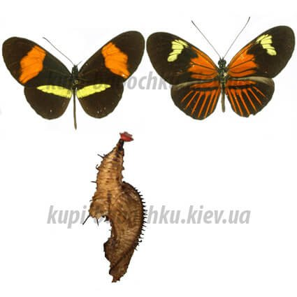 heliconius melpomene куколка бабочки
