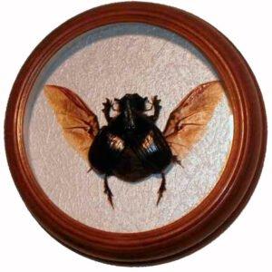 heliocopris dominus жук сувенир в раме