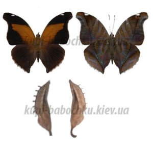 historis odius куколки бабочек