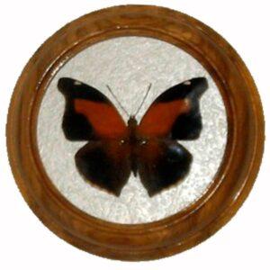 historis odius засушенная бабочка в раме