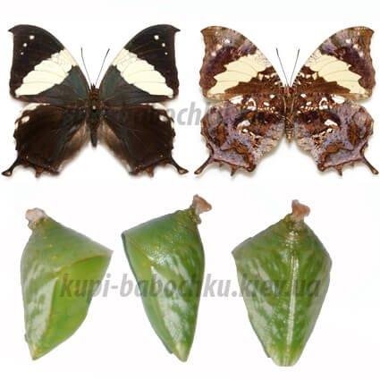 hypna clytemnestra куколки бабочек