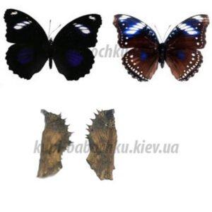 hypolimnas bolina куколка бабочки