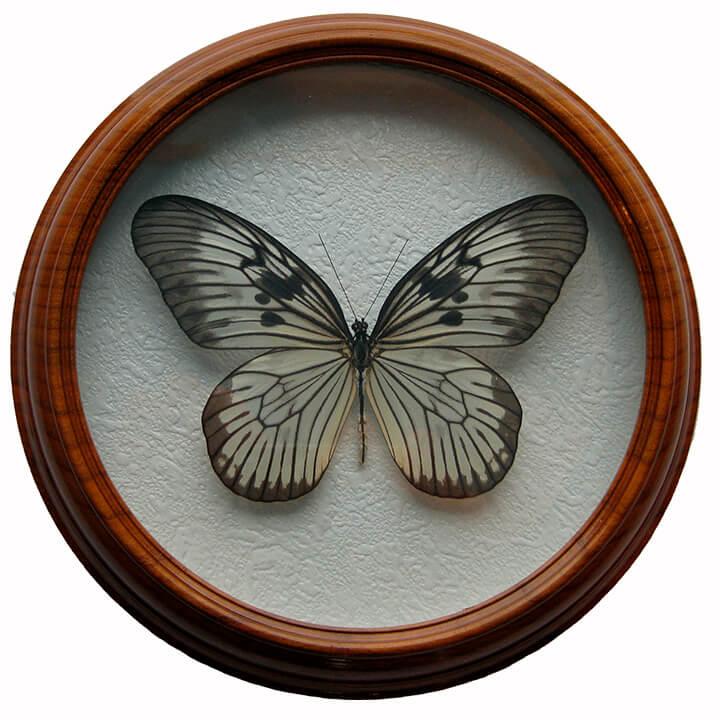 idea blancardi засушенная бабочка в рамке
