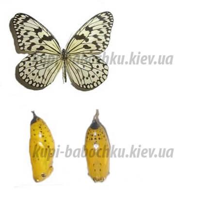 Idea Leuconoe куколки бабочки