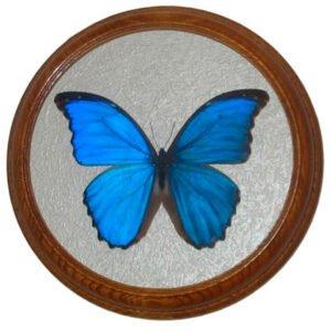 morpho didius засушенная бабочка в раме