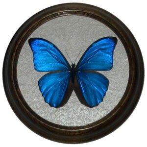 morpho menelaus засушенная бабочка в раме