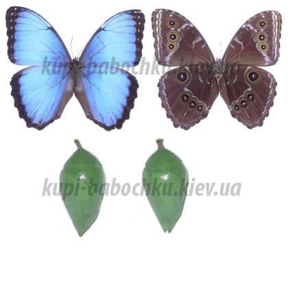 Morpho Peleides куколка бабочки