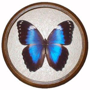 morpho violacea засушенная бабочка в раме