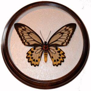 ornithoptera croesus сувенир засушенная бабочка