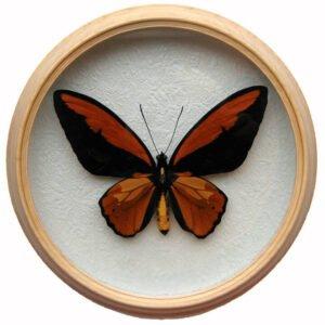 ornithoptera croesus сувенир бабочка