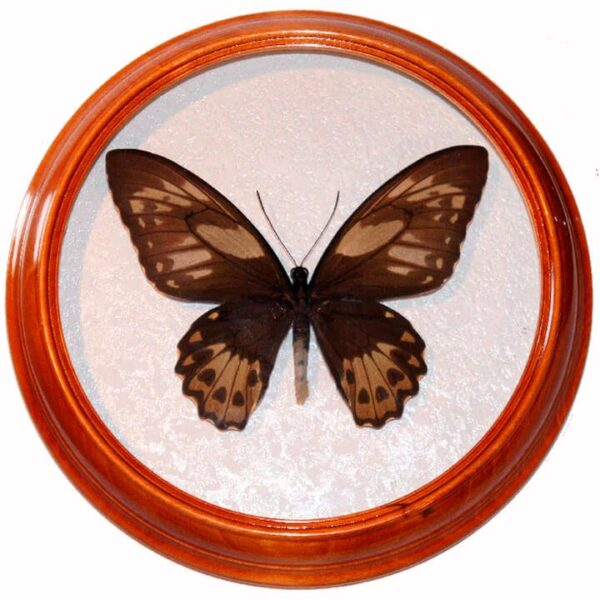 Ornithoptera Priamus самка бабочка в рамке