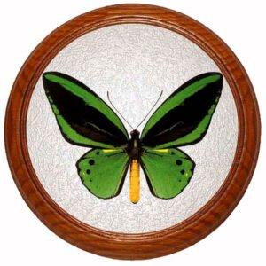 Ornithoptera Priamus бабочка в рамке