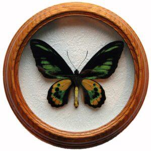 ornithoptera rothschildi засушенная бабочка в багете