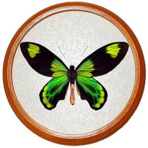 ornithoptera victoria бабочка сувенир