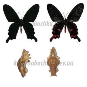 Pachliopta Kotzebuea куколки бабочек