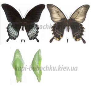 куколки бабочки pailio lowi