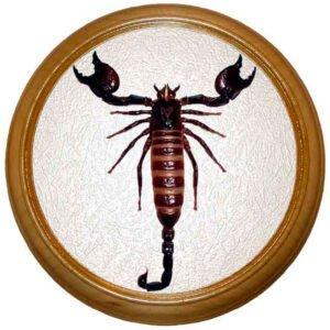 pandinus imperator скорпион в багетной раме