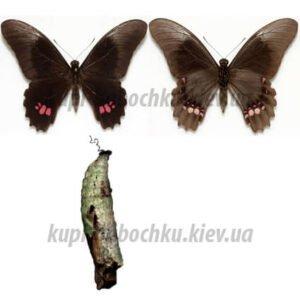 Papilio Anchisiades куколки бабочек