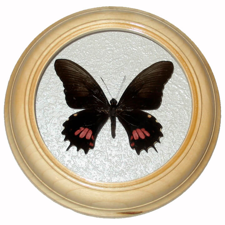 papilio anchisiades засушенная бабочка в рамке