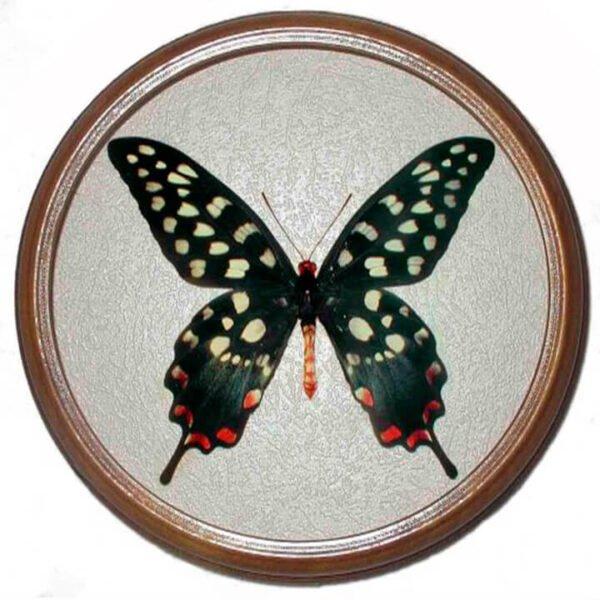 papilio antenor засушенная бабочка