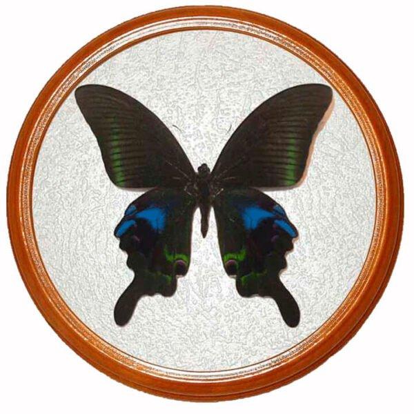 papilio arcturus сувенир бабочка засушенная