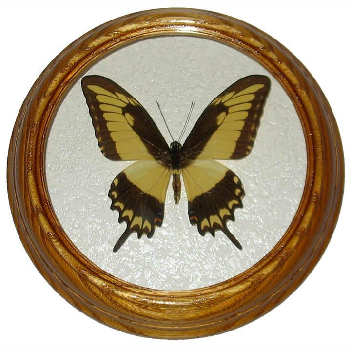 papilio astyalus бабочка в раме сувенир