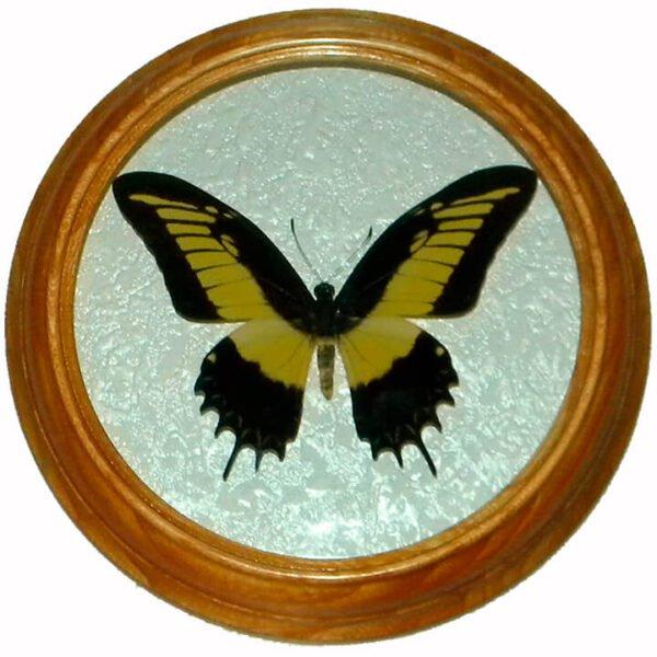 papilio astyalus бабочка в деревянной раме