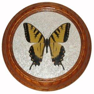 papilio canadensis бабочка в раме