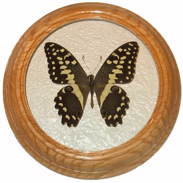 papilio demodocus бабочка в рамке