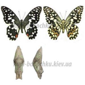 Papilio Demoleus куколки бабочек