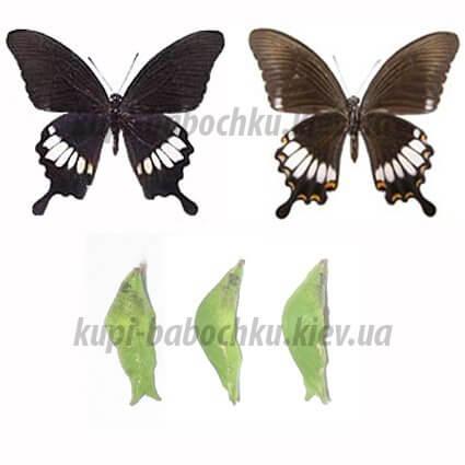 Papilio Hipponous куколка бабочки