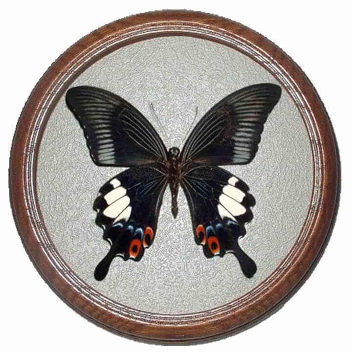 papilio iswara засушенная бабочка в багетной раме