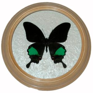 papilio karna бабочка в рамке