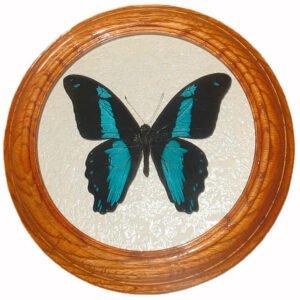 papilio oribazus бабочка сувенир