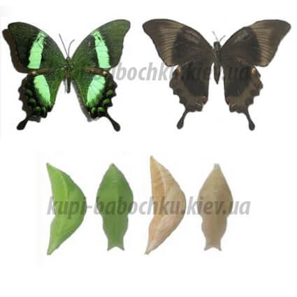 papilio palinurus бабочка