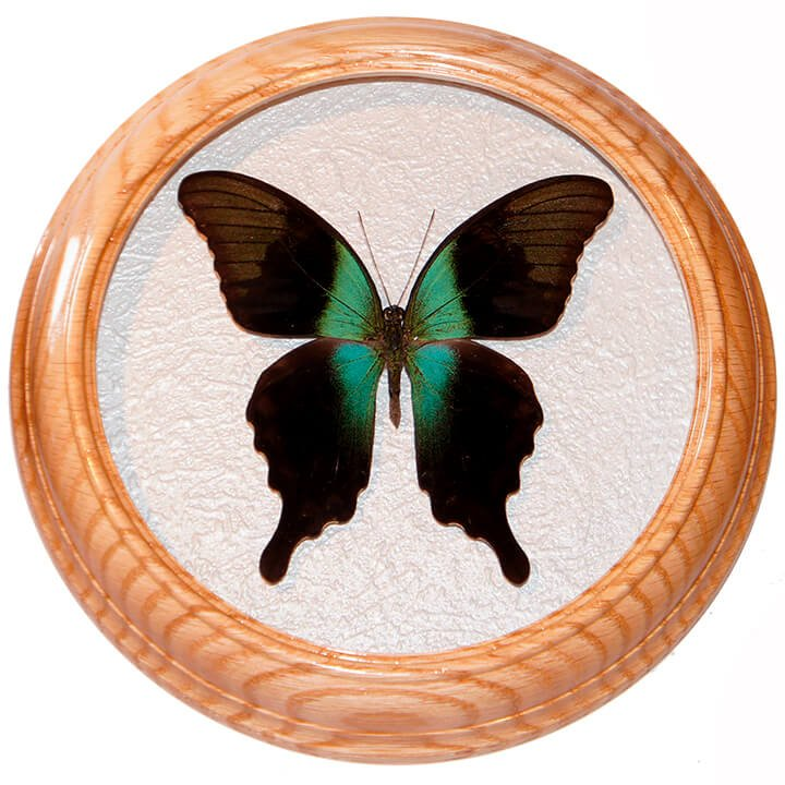 papilio peranthus засушенная бабочка в рамке