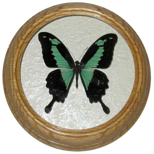 papilio phorcas бабочка в деревянной рамке