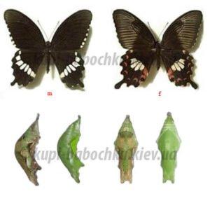 papilio polytes куколки бабочек