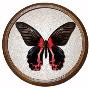 бабочка в рамке papilio rumanzovia f