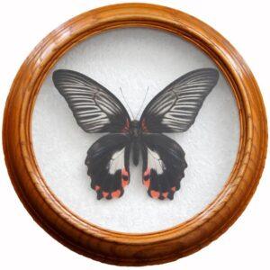 Papilio Rumanzovia white бабочка в рамке