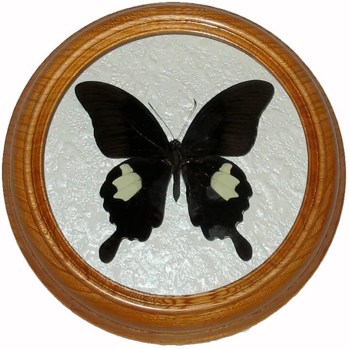 papilio sataspes бабочка в рамке под стеклом