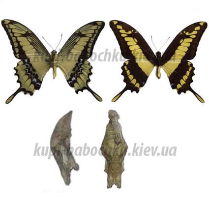 Papilio Thoas куколка бабочки
