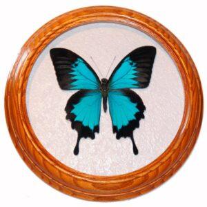 засушенная бабочка в рамке papilio ulysses