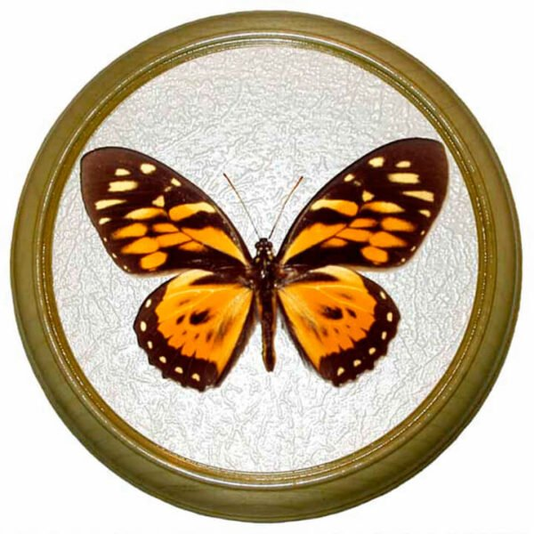 papilio zagreus бабочка в рамке