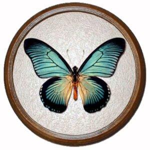 Papilio Zalmoxis верх бабочка в рамке