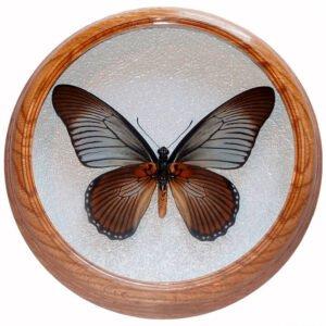 papilio zalmoxis низом засушенная бабочка под стеклом