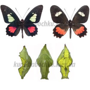 Parides Arcas куколка бабочки