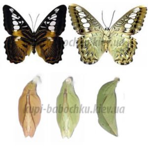 Parthenos Sylvia куколка бабочки